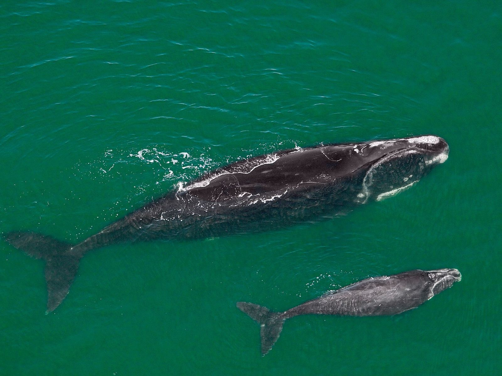 A female North Atlantic right whale and her new calf swim off Florida. There are only ...