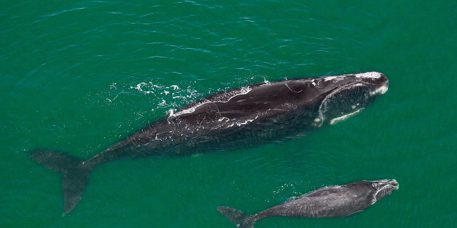 These endangered whales are disturbingly thin—why that matters