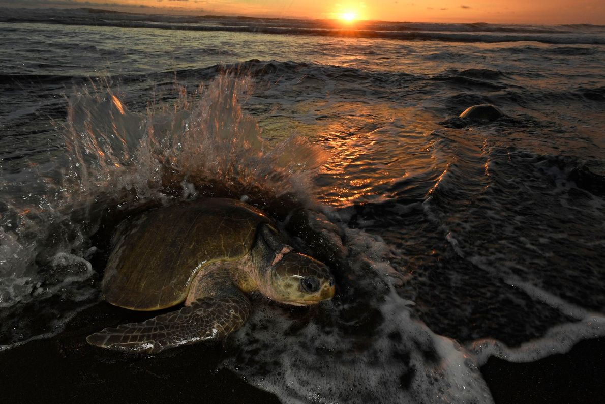 Female olive ridley sea turtles all emerge at the same time every month, usually the week ...
