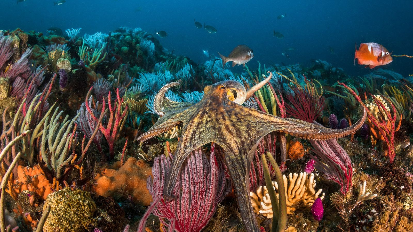 The common octopus, O. vulgaris, is found around the world. As the popularity of eating octopus ...