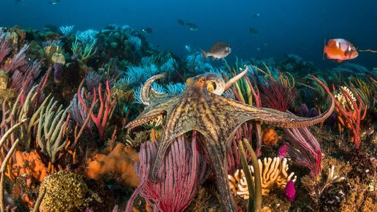 The world wants to eat more octopus. Is farming them ethical?