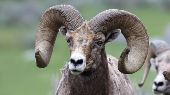 Bighorn sheep, like this ram photographed in Montana's Yellowstone National Park, must learn the best migration ...