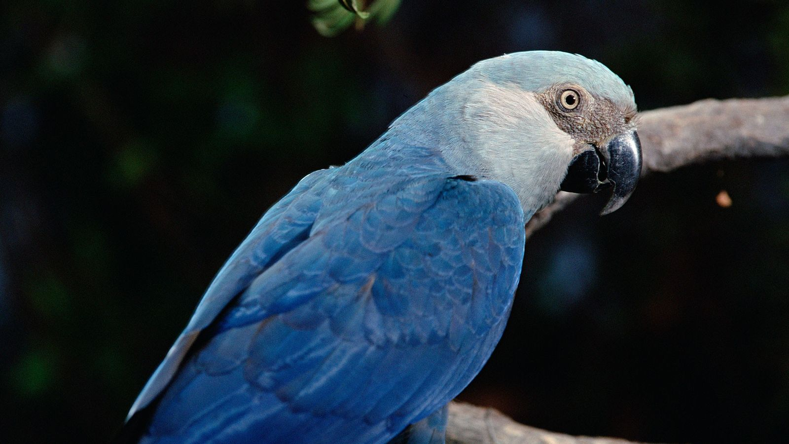 The Spix Macaw, found natively in the Brazilian Amazon, may be extinct in the wild, according ...