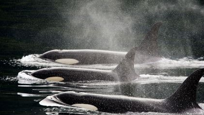 How Killer Whales Went from Hated, to Adored, to Endangered