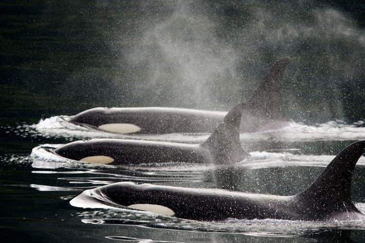 Three killer whales swim in a row at the surface of the water. Over the years, ...