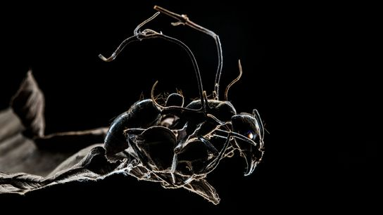 This ant is infected with a fungus that turns it into a zombie, guiding it out ...
