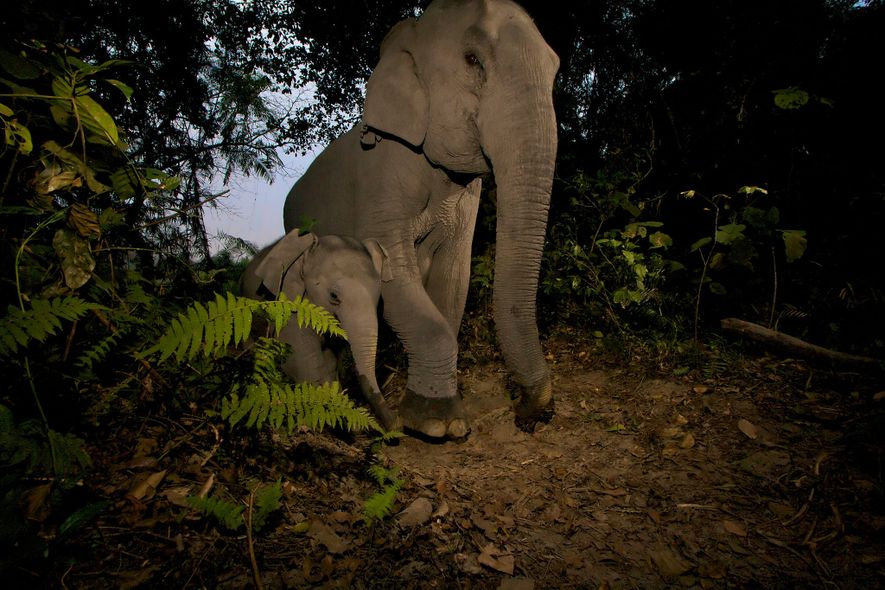 Baby Asian Elephants Are Being Crippled by Snares