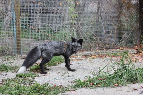 What DNA From Pet Foxes Teaches Us About Dogs—And Humans