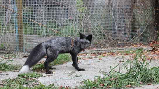 Since 1959, silver foxes in Russia have been bred to be friendly, or aggressive. The experiment ...