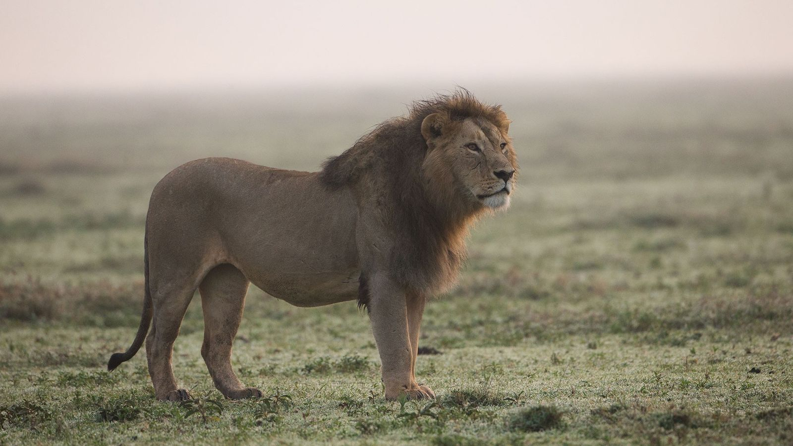 African lions are increasingly being slaughtered for their teeth and claws, likely made into jewellery and ...
