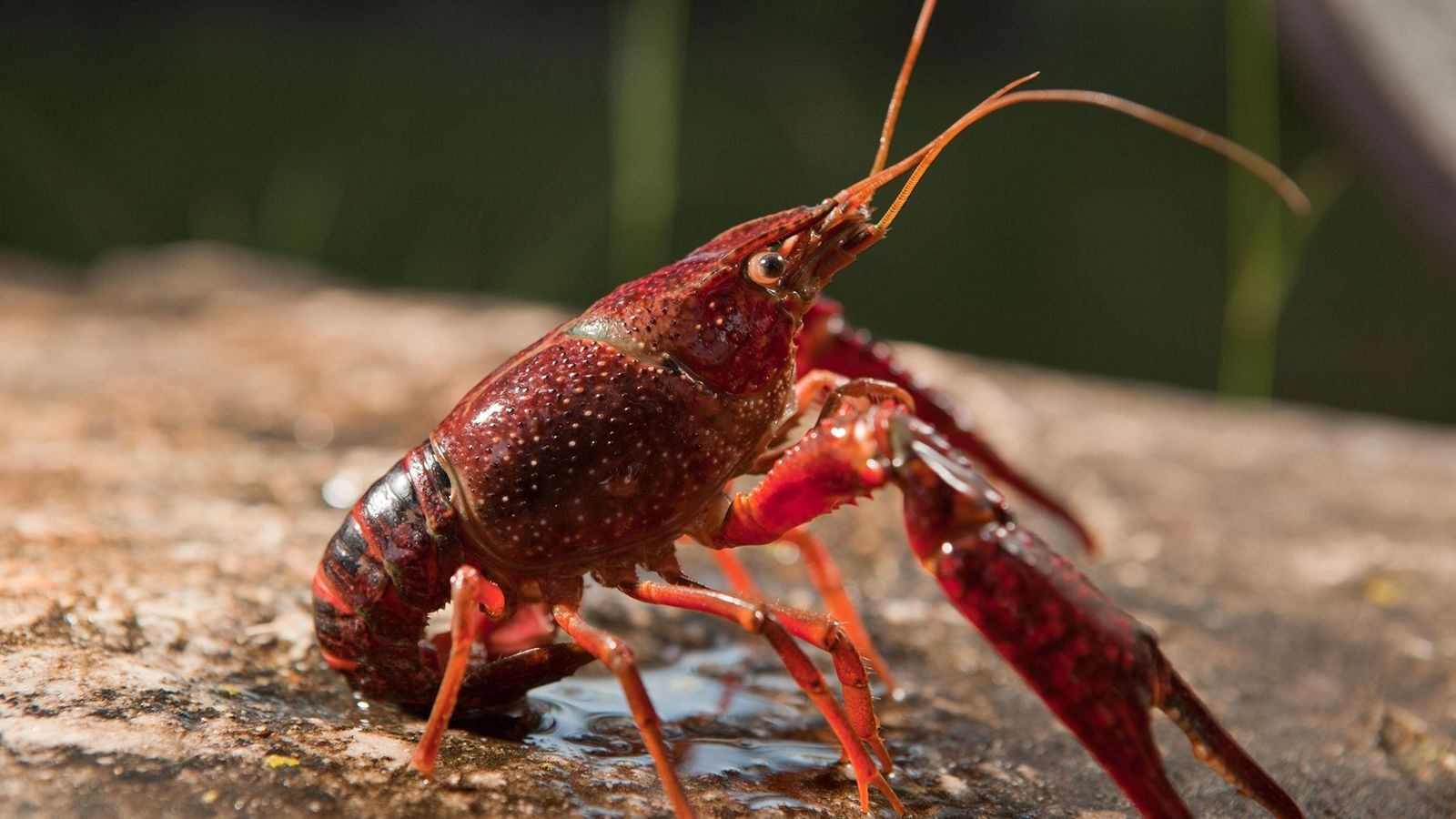 The prolific red swamp crayfish (Procambarus clarkii), native to the Southeastern U.S., has invaded freshwater ecosystems ...