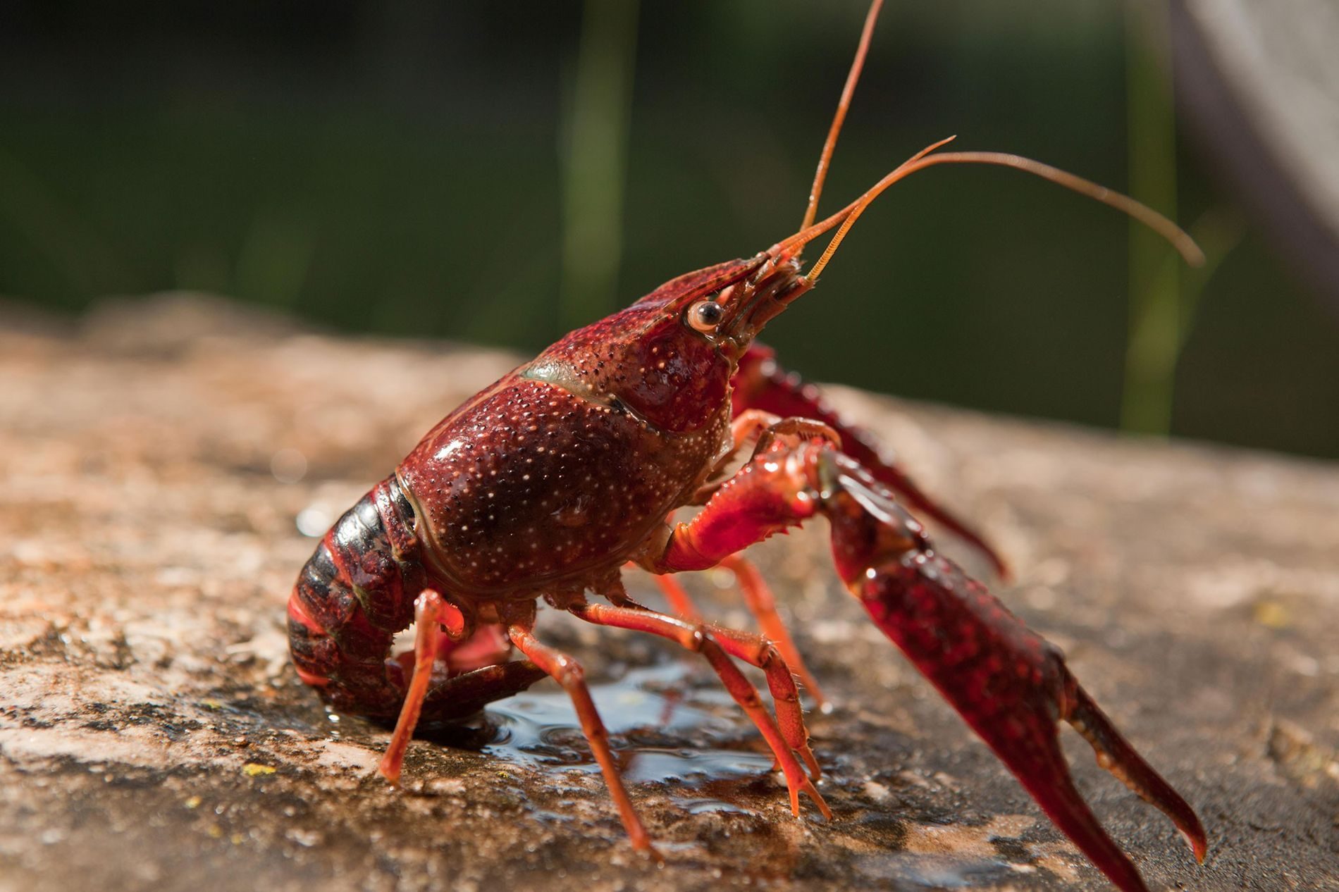 The prolific red swamp crayfish (Procambarus clarkii), native to the Southeastern U.S., has invaded freshwater ecosystems globally—including the streams of California's Santa Monica Mountains.