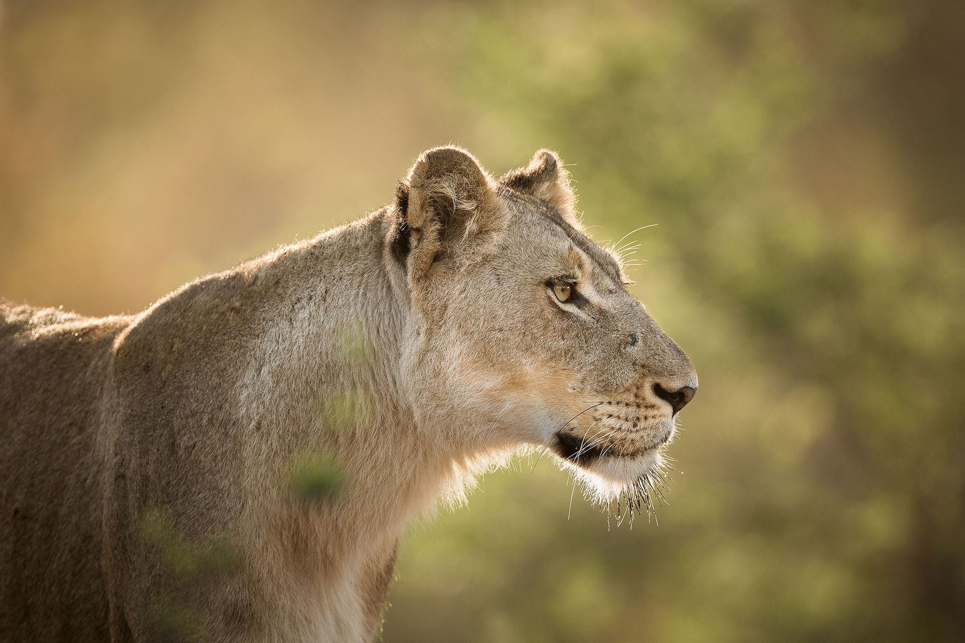 South Africa to Export 1,500 Lion Skeletons Per Year—Legally