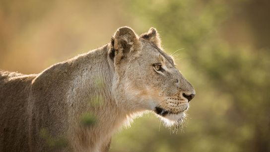 Lions are under increasing threat due to growing demand for their claws, teeth, bones, and other ...