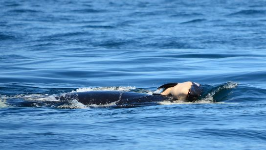 An orca known as J35 in the Pacific Northwest, carrying her dead calf. Experts say the ...