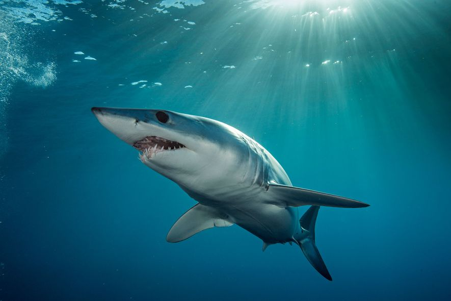 A shortfin mako swims through turquoise waters off the coast of New Zealand's North Island.