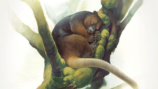 The ultra-rare Wondiwoi tree kangaroo was last recorded by scientists in 1928, and researchers only had ...