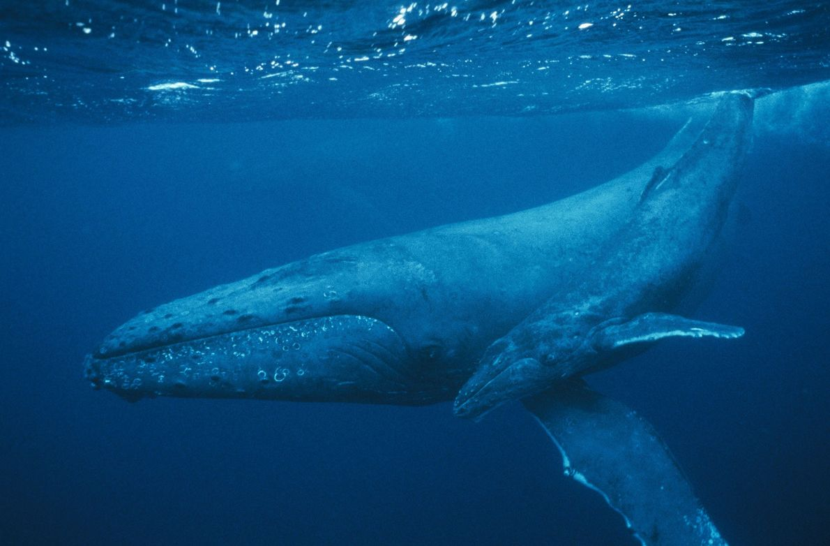 A humpback whale and her baby are submerged in Pacific off of the Maui Island. Humpback …