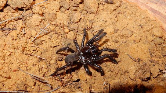 Number 16, a recently deceased trapdoor spider in Australia, had been studied since 1974. Her long ...