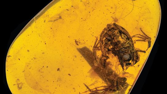 This lump of amber from Myanmar holds a tiny frog that lived alongside the dinosaurs.