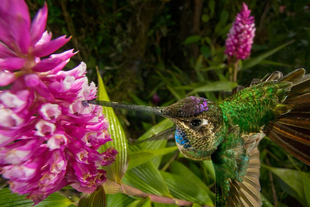 Eleanthus sp. being pollinated by hummingbirds.