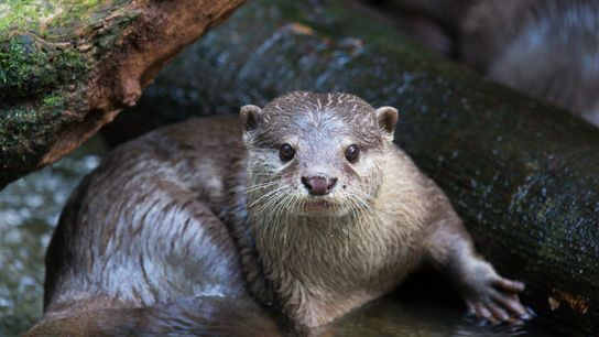 The Asian small-clawed otter has become a popular pet in Southeast Asia. People in Indonesia, Thailand, ...