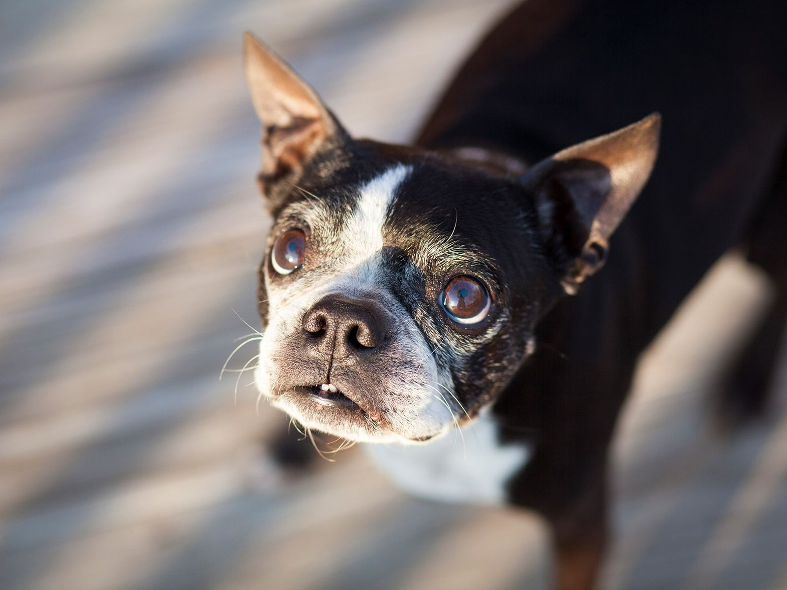 An elderly Boston terrier looks at the camera. Due to centuries of domestication, dogs are finely ...