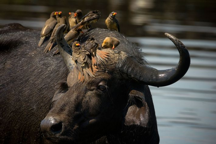 Yellow-billed oxpeckers sit on the head of a water buffalo.