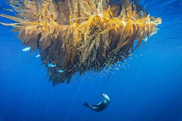 A California sea lion hunts for fish on a kelp paddy at Cortes Bank, a seamount ...