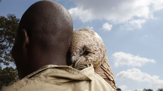 A pangolin rescued from poachers looks over his caregiver's shoulder at a ranch owned by the ...