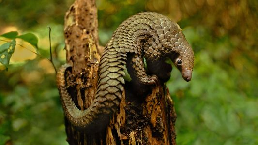 How Simple Forensic Fingerprinting Could Help the World's Most Trafficked Mammal