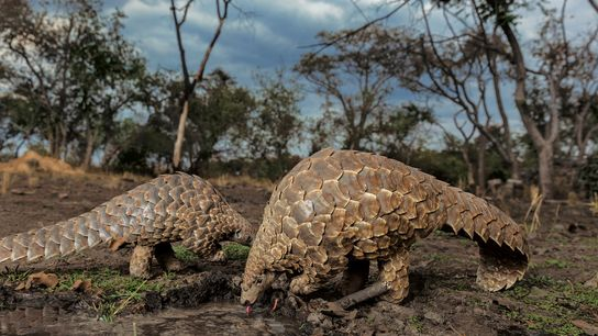 Pangolins are believed to be the world's most trafficked mammal, targeted most often for their scales. ...