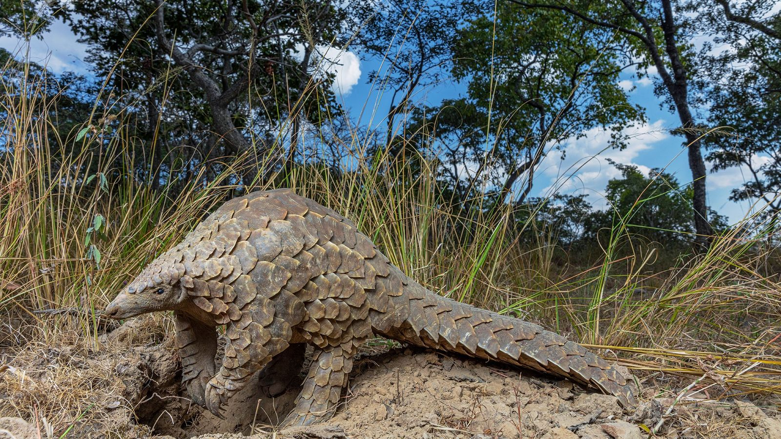 Pangolins, which look like scaly anteaters, are coveted for use in traditional Chinese medicine.