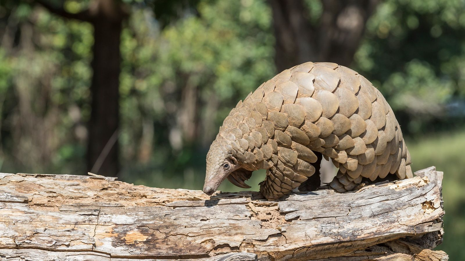 The endangered Indian pangolin, pictured here, and the critically endangered Chinese pangolin both live in India, ...