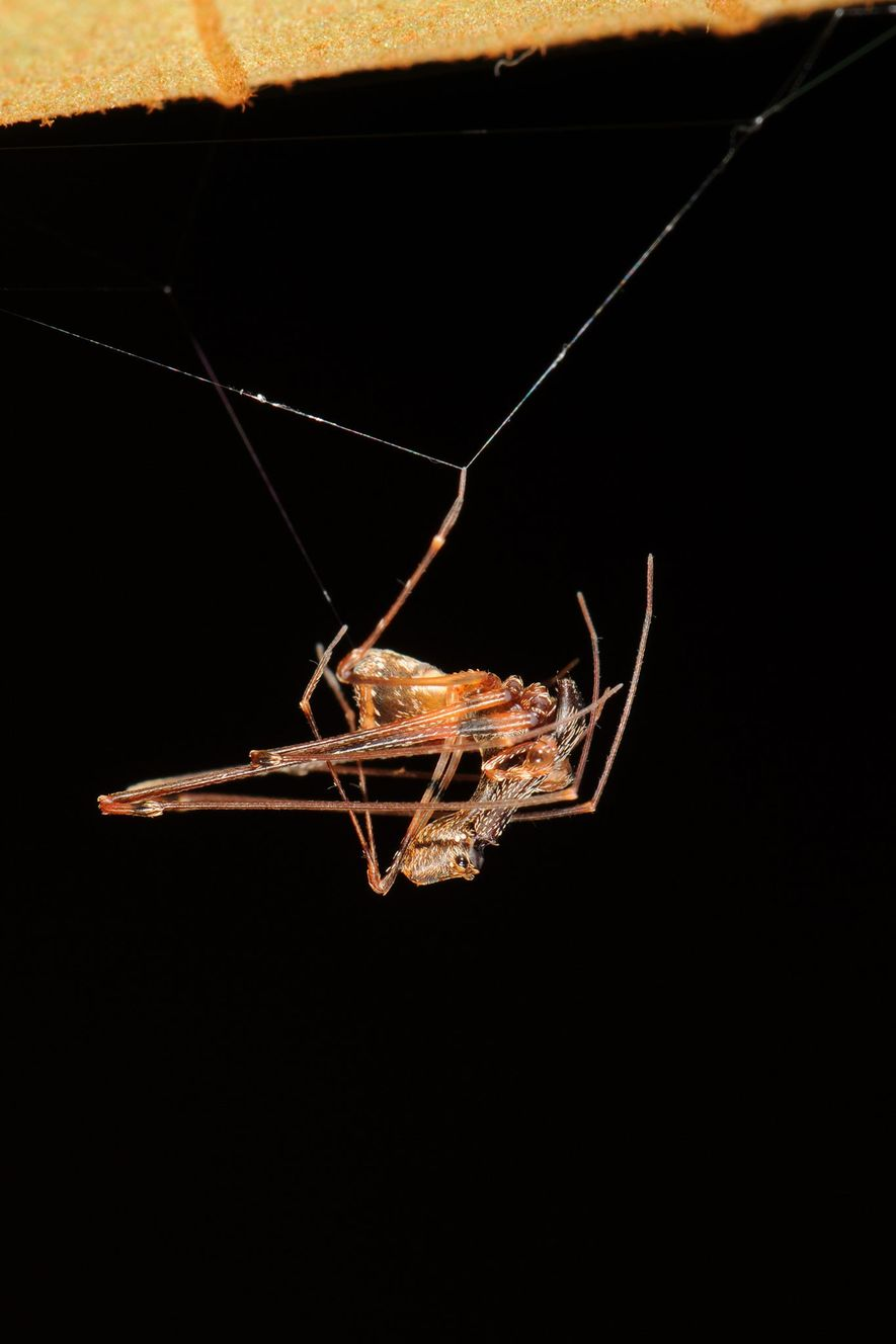 A male E. workmani in his web. Modern-day pelican spiders live in South Africa, Australia, and Madagascar.