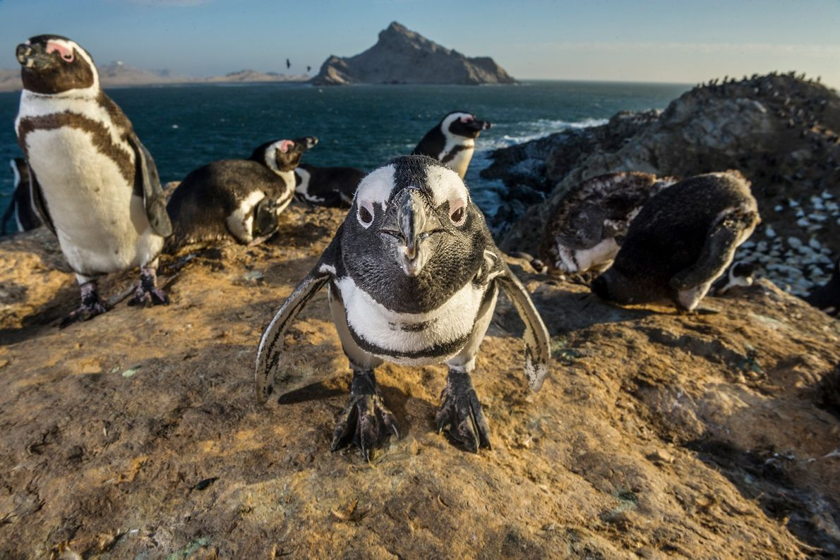 African penguins roost on Mercury Island in Namibia. African penguins hunt schools of fish together in ...