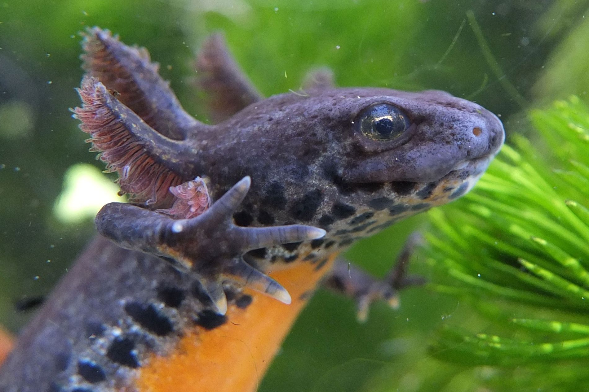 Paedomorphosis allows alpine newts like this female to hold onto aquatic adaptations and delay metamorphosis for months, years, or a lifetime.