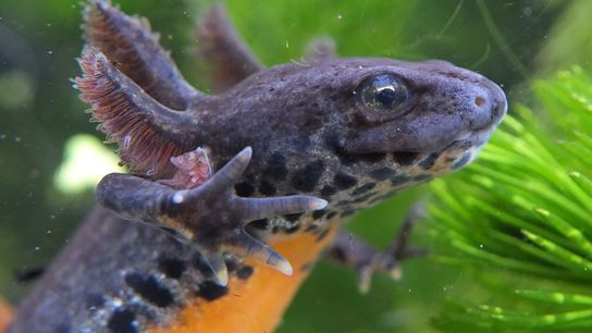 Paedomorphosis allows alpine newts like this female to hold onto aquatic adaptations and delay metamorphosis for ...