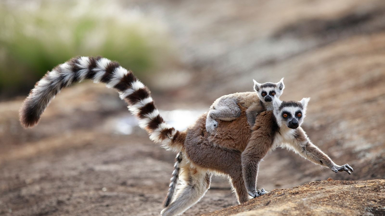 Male ring-tailed lemurs waft an alluring scent toward females (pictured, a mom and baby in Anja ...