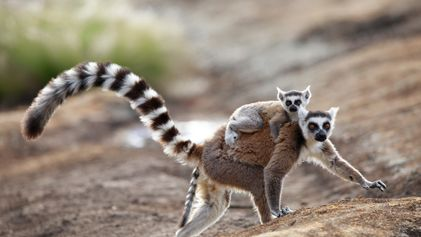 How pheromones help bee queens rule and lemurs 'flirt'