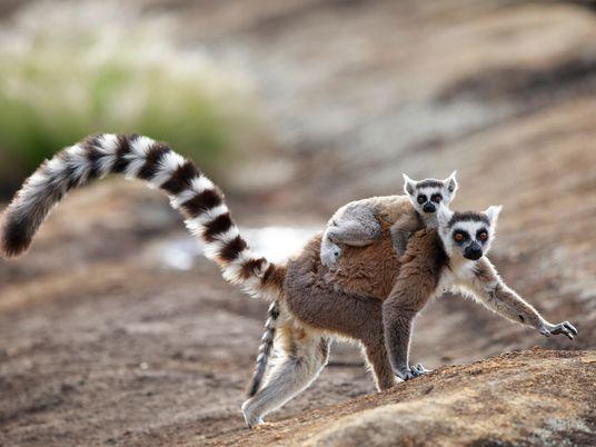 How pheromones help bee queens rule and lemurs 'flirt'
