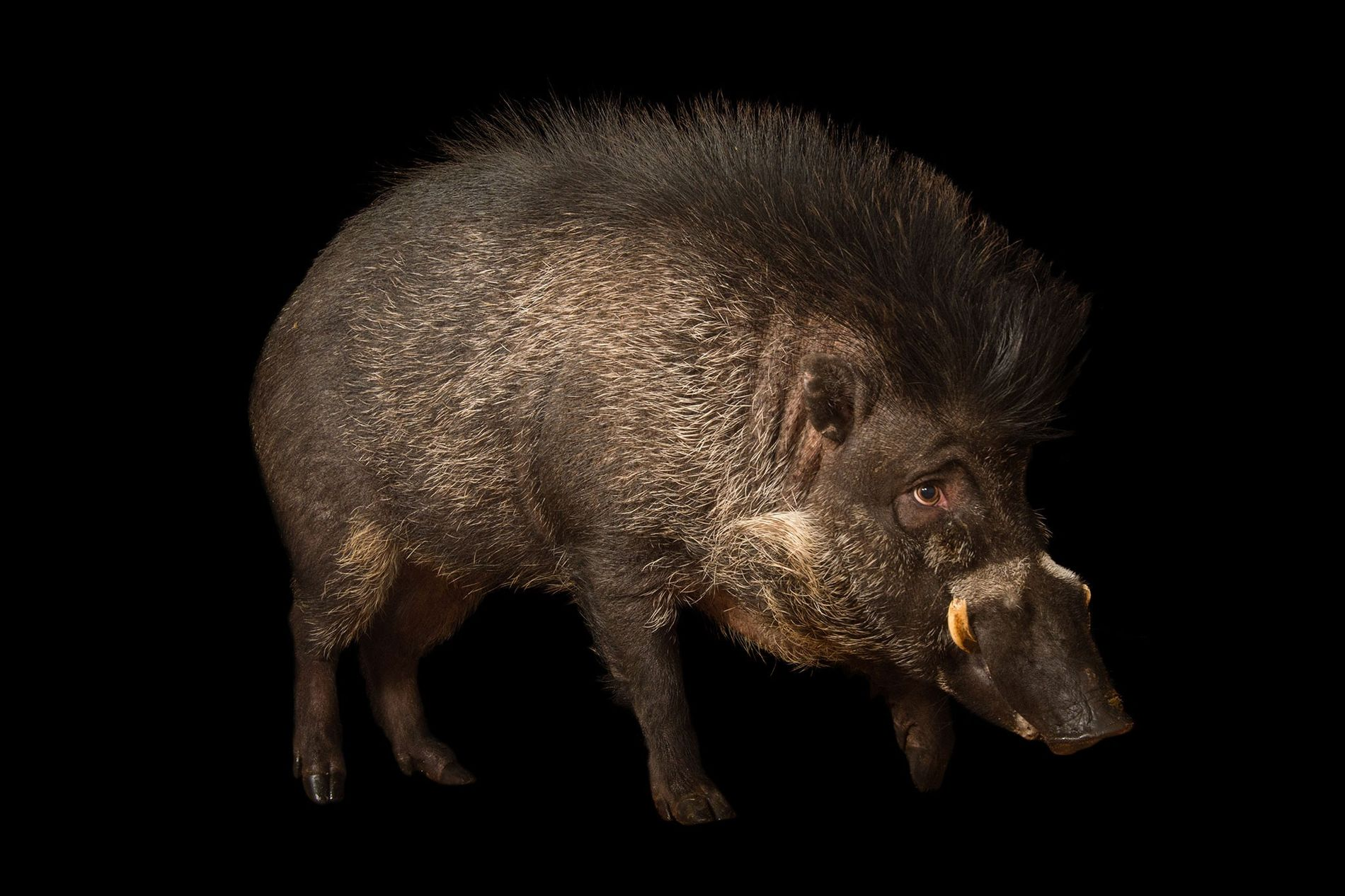 Only about 300 Visayan warty pigs exist in captivity (pictured, an animal at the Minnesota Zoo). ...