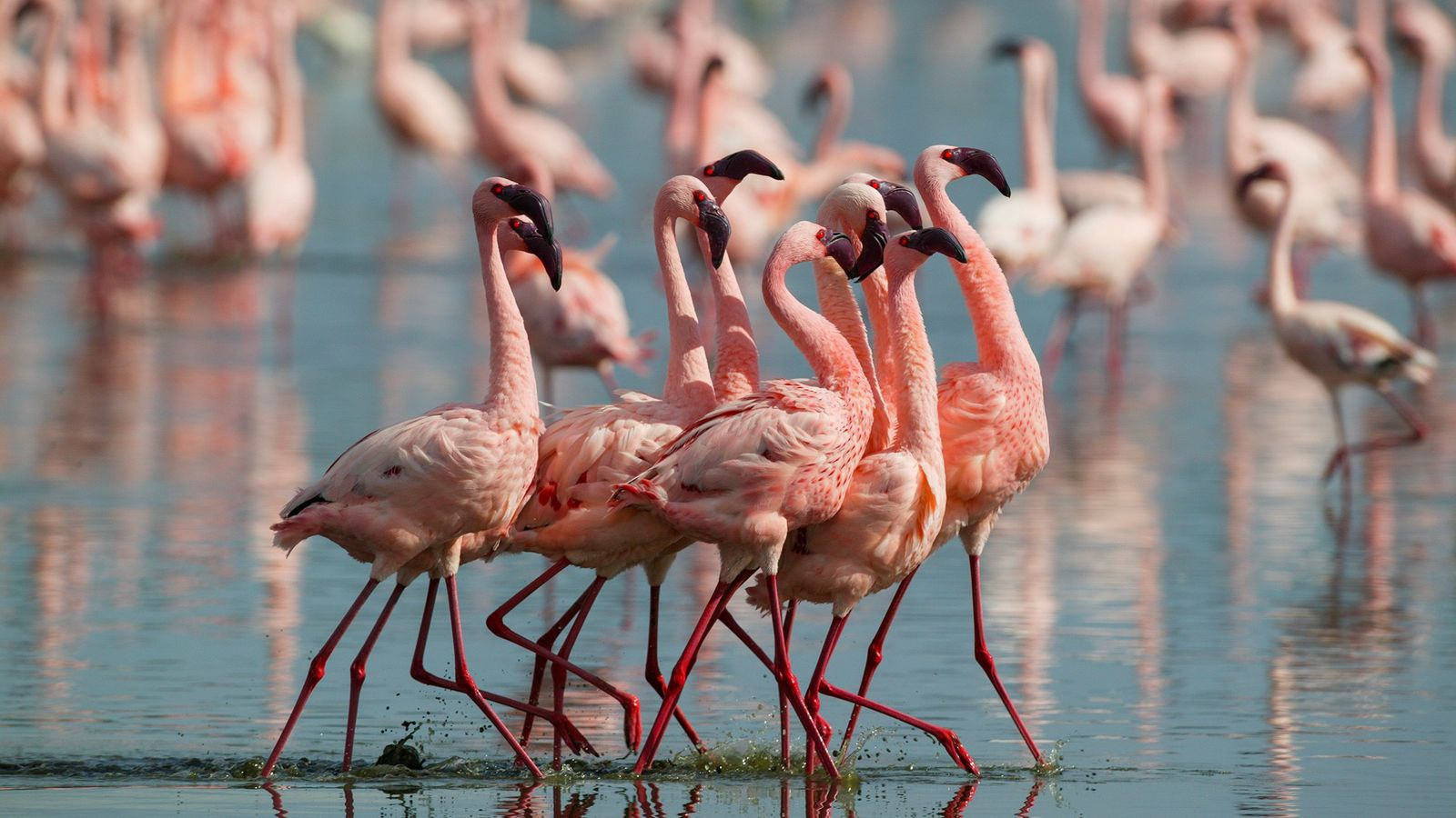 Lesser flamingo (Phoeniconaias minor) males display at Lake Nakuru, Kenya. These animals sometimes fight over food, ...