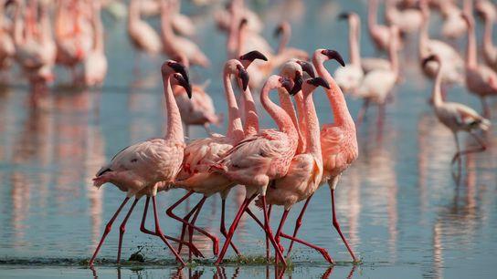 Lesser flamingo (Phoeniconaias minor) males display at Lake Nakuru, Kenya. These animals sometimes fight over food, ...