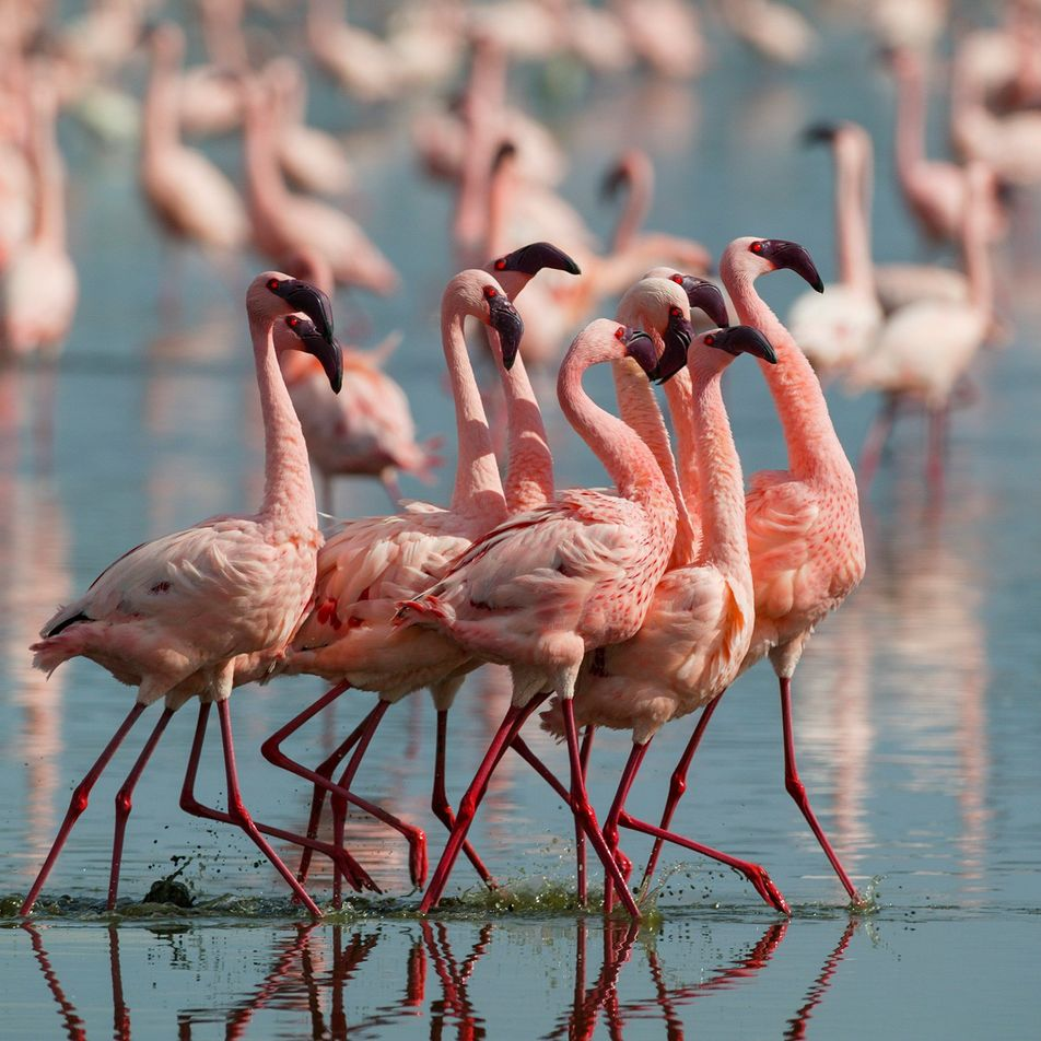 Pinker flamingos are more aggressive, intriguing study finds