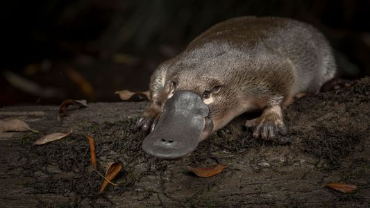 The silent decline of the platypus, Australia's beloved oddity