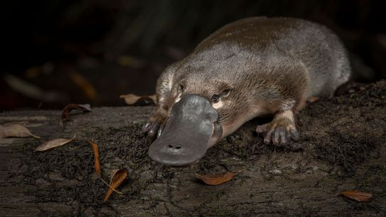 A platypus is released into Little Yarra River in Victoria, Australia, in 2018.