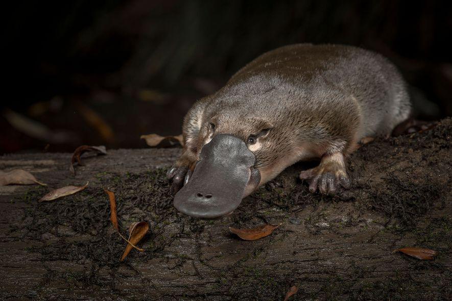 The silent decline of the platypus, Australia's beloved oddity