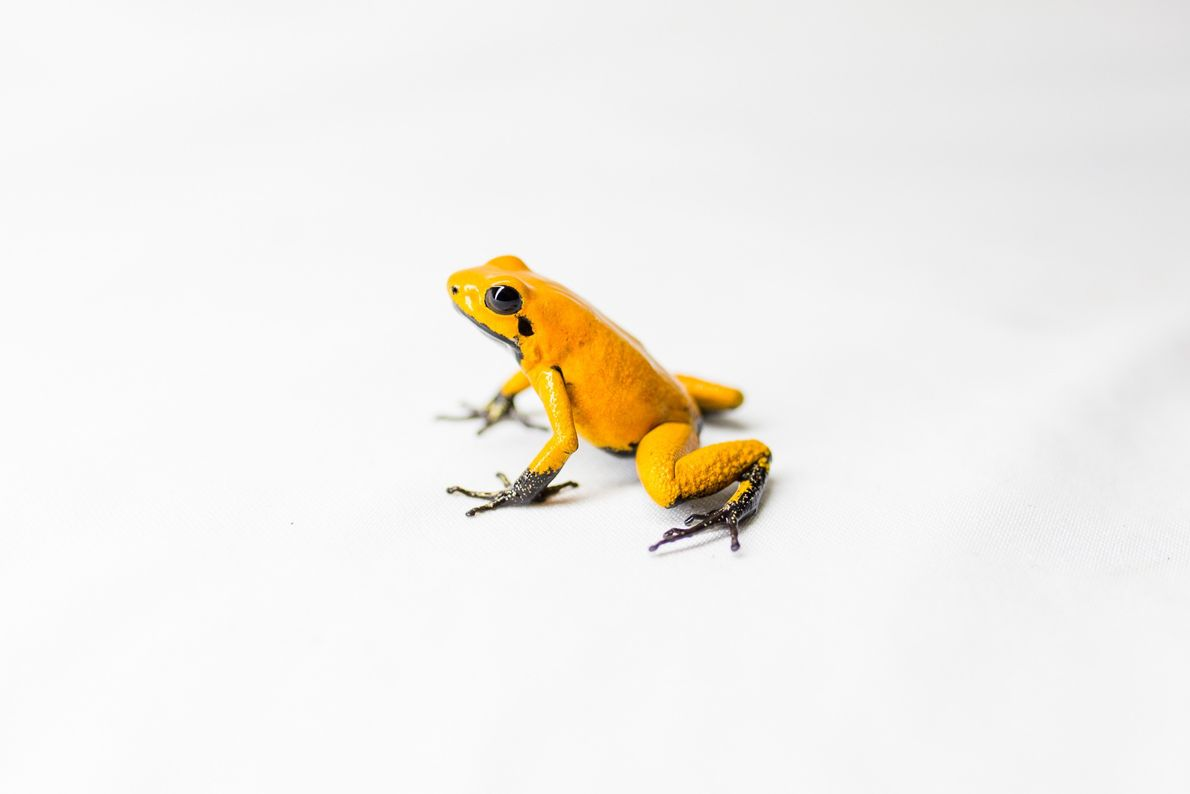 Through selective breeding, Ivan Lozano has developed a colour 'morph' of the golden poison frog known ...