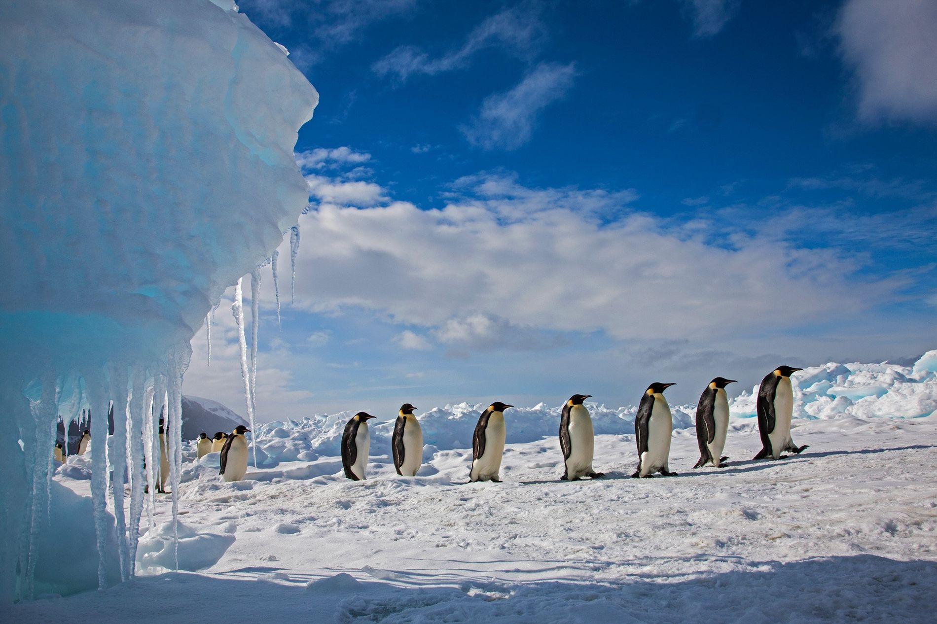 Emperor penguins march along the ice on Cape Washington on Antarctica's Ross Sea. Contrary to popular ...